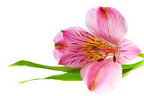 Pink alstroemeria with green leaves on white background with copy space