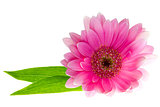 Pink gerbera daisy with green leaves on white background with copy space