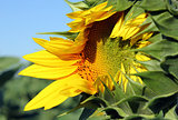 opening sunflower closeup