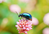 Leaf Beetle