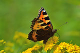 Vanessa atalanta