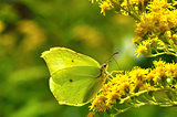 Gonepteryx rhamni