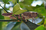 grasshopper among leaves