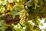 Grapes In Galilee