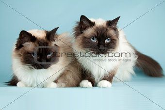 Ragdoll cat