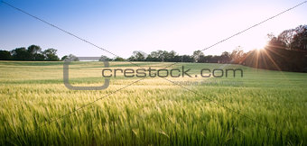 Beautiful field of fresh growth agricultural wheat
