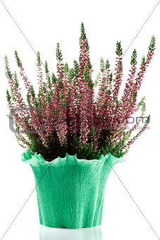 heather plant in a pot on a white background