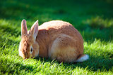 Easter rabbit on fresh green grass on beautiful sunny day