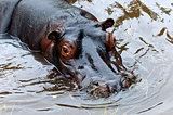 The hippopotamus or hippo
