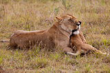 Lioness with a cub, Kenya