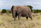 Elephant, Kenya