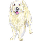 vector sketch yellow gun dog breed Labrador Retriever