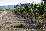 Hills of Tuscany with Vineyard for Production of Wines Chianti a