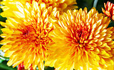 Orange autumn chrysanthemums bush