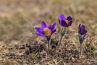 pasqueflower (pulsatilla vulgaris)