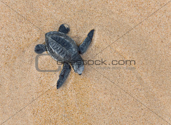 Close-up of baby Loggerhead sea turtle