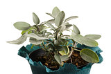 sage plant in a pot on a white background