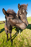 Icelandic horses