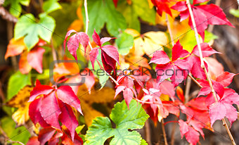 Autumnal red and green foliage
