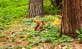 Little squirrel in autumnal forest