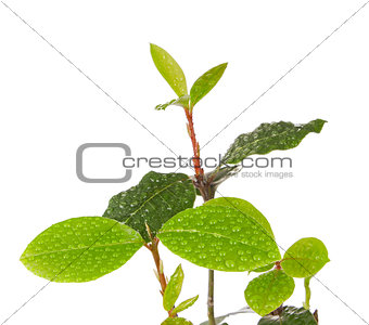 branch bay leaf with drop dew
