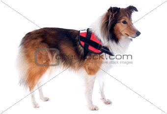 shetland dog and harness