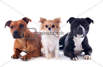 staffordshire bull terriers and chihuahua