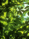Chestnut leaves background.