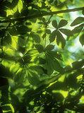 Chestnut leaves background.