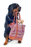 rottweiler and chihuahua in a bag
