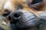 Nose of chihuahua, 2