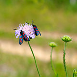 Zygaena romeo on a flower