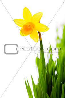 daffodils in green grass