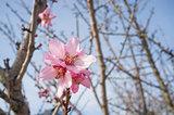 Pink almond flower