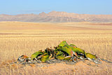 Welwitschia, Namib desert