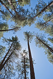 Forest Canopy with Blue Sky