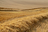 partially harvested wheat field
