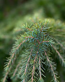 soft fir tree