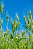 field of a green wheat before harvesting on a background clear blue sky