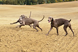 Weimaraner in action