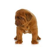 dogue de bordeaux puppy