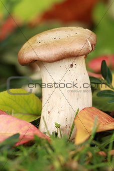 Abalone mushroom