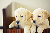 Two Labrador Retriever Puppy