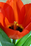 macro shot of red tulips - focus on the pistil