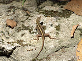 Female Brown Anole Lizard