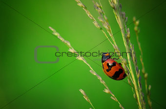 close up photo of ladybird with natural green background