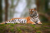 Beautiful tiger laying down on grassy bank