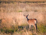 Young red deer fawn in Autumn Fall landscape