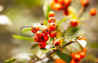 Wild autumn orange beries