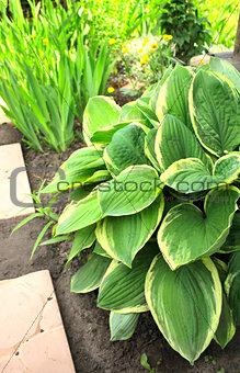 Hosta in garden